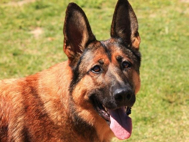 Вякутской милиции забраковали собак-клонов, присланных изКореи