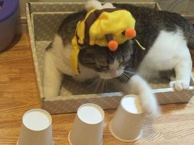 Кот научился обыгрывать в наперстки хозяев