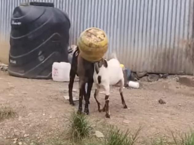 Прохожий спас двух застрявших в бидоне козлов