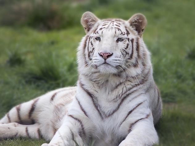 Натрассе вОренбургской области бросили цирковых белых тигров