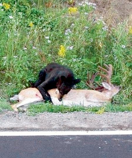 Бурый медведь - ловкий и быстрый хищник...
