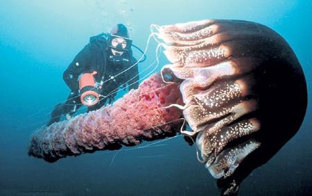 Медузы Номура (Nemopilema nomurai) - крупнейшие в мире. Их наплыв учёные связывают не только с потеплением океанов - человек истребил соперников этих монстров