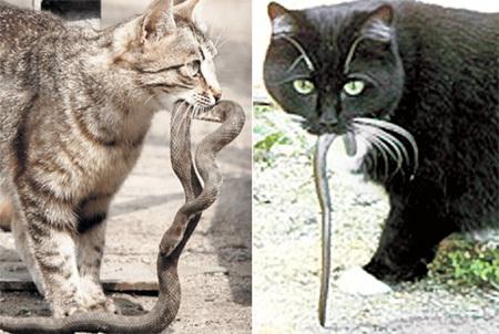 Специалисты утверждают: охотничий инстинкт кошачьих распространяется не только на грызунов. Врождённая ловкость чаще всего помогает кошкам избежать укуса змеи, а некоторые хвостатые охотники даже не прочь полакомиться своей добычей
