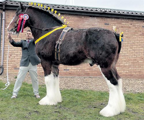 Рост английских шайров почти два метра, а вес - до полутора тонн. Две тысячи лет назад их предки, запряженные бриттами в боевые колесницы, на полном скаку бросались на римские легионы