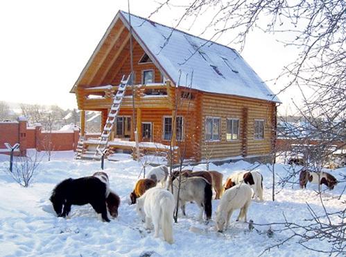 Настоящие техасские «миниатюры» появились на ранчо в Калужской области восемь лет назад