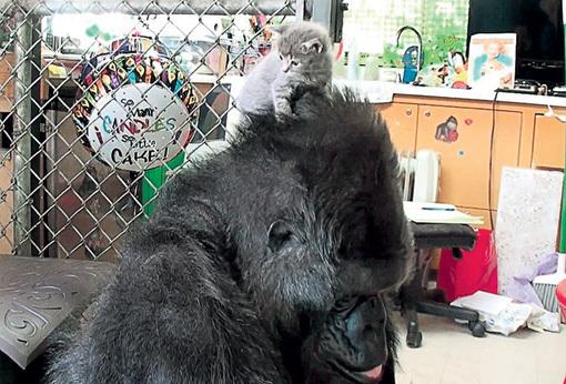 Приёмышу горилла позволяет всё