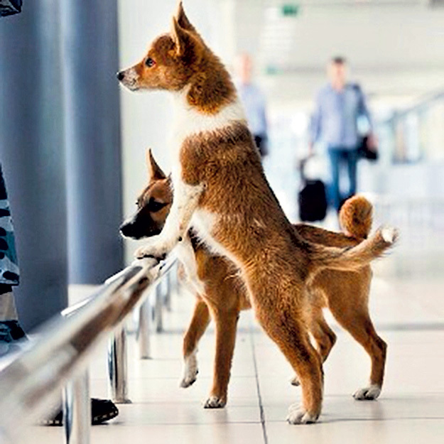 Шалайки служат в аэропортах - ищут взрывчатку
