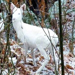 Белого оленёнка удалось сфотографировать на севере Италии. Детёныша окрестили Бэмби - в честь героя мультика