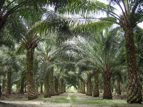 Плантация масличных пальм. Фото: Википедия